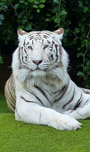 Pictures of beautiful white Bengal tigers | Tiger pictures ...