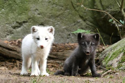 polarfuchs welpen im zoorostock pixelino