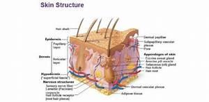 Skin Structure Quiz
