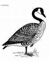 Coloring Goosebumps Goose Canada Horrorland Geese Drawing Canadian Printable Pyrography Patterns Flying Sheets Stencils Visit Getcolorings Labels sketch template