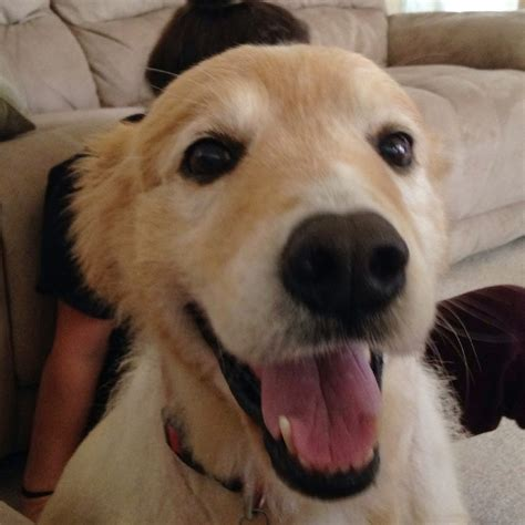 Available Golden Retriever Rescue Of North Texas