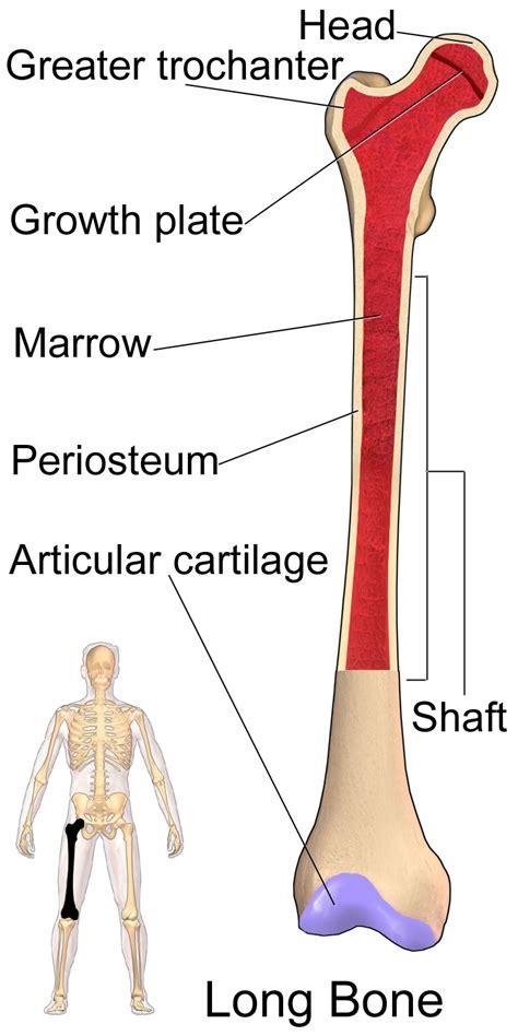 Tulang Gigitan Hip Bone податотека bone femur png википедија