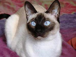 Siamese cats | Cute Cats