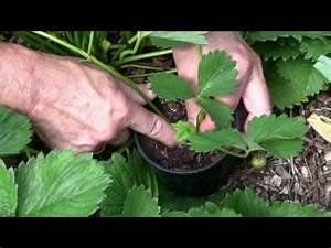 Erdbeeren Wann Pflanzen : wann pflanzen sie erdbeeren unser kalender gibt tipps pflanzen pinterest ~ Watch28wear.com Haus und Dekorationen