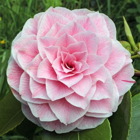 pink perfection camellia camellia japonica pink perfection