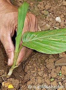 Kurkuma Pflanze Pflege : kurkumapflanze garten kurkuma und ingwer pflanzen ~ Eleganceandgraceweddings.com Haus und Dekorationen