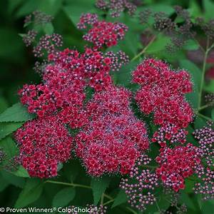 Double Play U00ae Red - Spirea