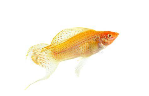 molly fish isolated   white background stock image