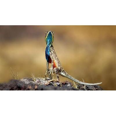 Fan-throated lizard - Explore more about the
