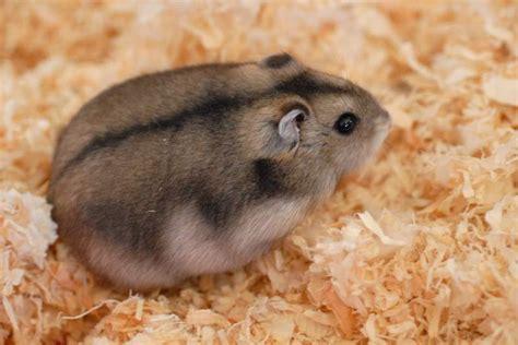 Durée De Vie D Un Hamster Russe by Mon Premier Hamster
