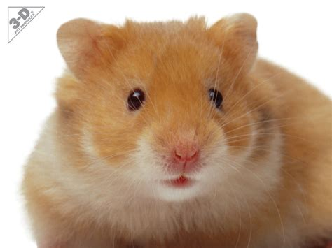 types of hamsters hamster 3d 174 pet products3d 174 pet products