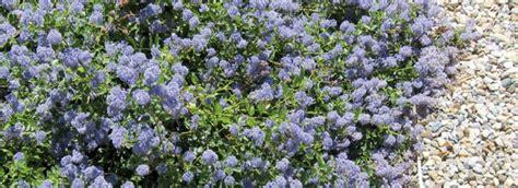 arbusti dai fiori rosei l arbusto speciale dai fiori ville casali