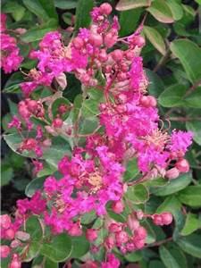 Taille Du Lilas Des Indes : lilas des indes 39 petite red 39 lagerstroemia indica le ~ Nature-et-papiers.com Idées de Décoration