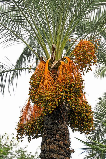 italy  date palm tree trees  plant palm trees