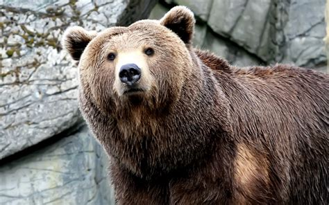 bears interesting  amazing  facts animals lover