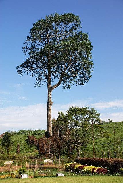 mahogany tree   trees  plant plants shrubs