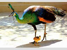 Green peafowl Wiki Everipedia