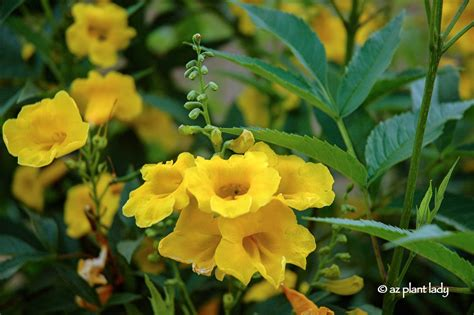 yellow bells drought tolerant yellow bells for warm season color