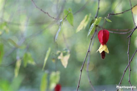Abutilon Flowering Maple Indian Mallow Plant