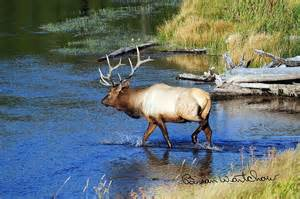 Yellowstone National Park Elk