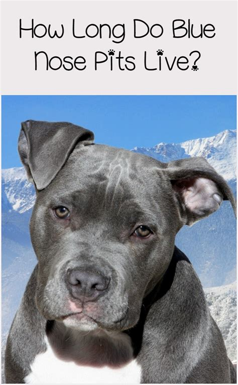 blue nose pitbull lifespan complete health guide