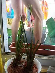 Phoenix Canariensis Pflege : was bin ich f r eine palme ph nix canariensis ~ Lizthompson.info Haus und Dekorationen