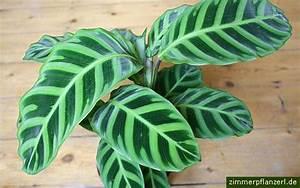 Calathea Blätter Rollen Sich Ein : korbmarante calathea zebrina ~ Orissabook.com Haus und Dekorationen