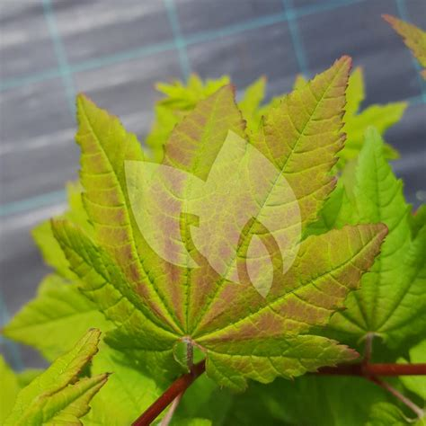 plantenwinkelnl japanse esdoorn acer circinatum