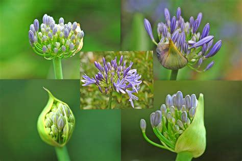 afrikanische lilie überwintern afrikanische lilie foto bild pflanzen pilze flechten bl 252 ten kleinpflanzen iris und