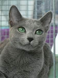 cats with blue russian blue cat history many