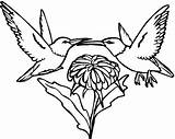 Hummingbird Coloring Pages Printable Bird Humming Swallow Adults Tailed Hummingbirds Adult Drawings Tail Print Designlooter Getdrawings Flowers 613px 07kb Getcolorings sketch template