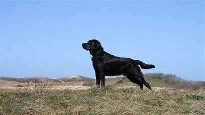 Labrador Retriever Lab Amazing Wallpapersafari
