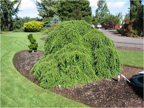 Garden Decorative Bushes by List Trees And Decorative Bushes From My Landscaping