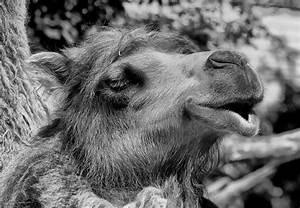 Schwarz Weiß Bilder Tiere : camel dromedar schwarz wei zoo tiere ~ Markanthonyermac.com Haus und Dekorationen