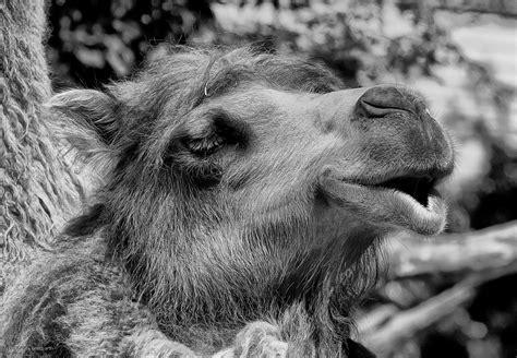 camel, dromedar, schwarz weiß, zoo, tiere,