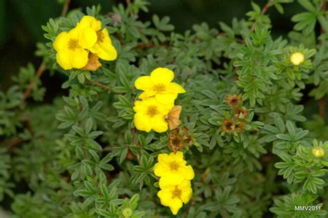 when to plant flowers shrubby potentilla info how to care for potentilla shrubs