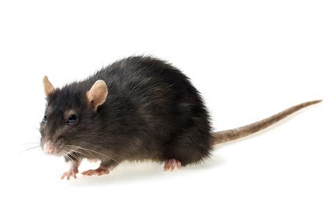rodent control rabbit mice  rat extermination london
