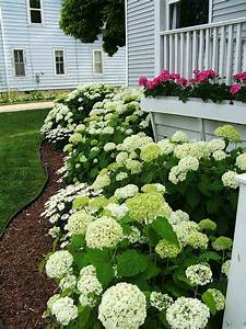 My Favorite Annabelle Hydrangea   Perfect For Our Michigan Weather