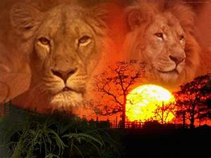 fonds d39ecran felins tigre de feu With plan de maison original 14 fond decran lion blanc