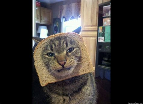 Cats Have Had Enough Of Cat Breading Cats Cat Memes