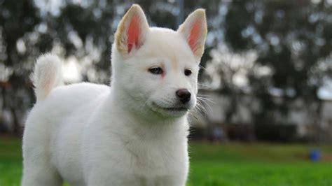 korean jindo dog information characteristics facts names