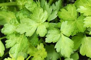 Parsley Types: Learn About Different Kinds Of Parsley For ...