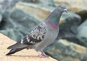 Rock Dove Bird (Pigeon) Photos, HD Images Free Download
