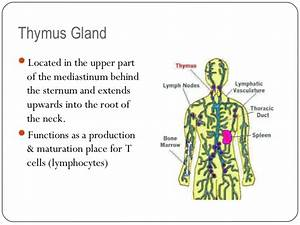 Thymus Gland Function – applecool.info