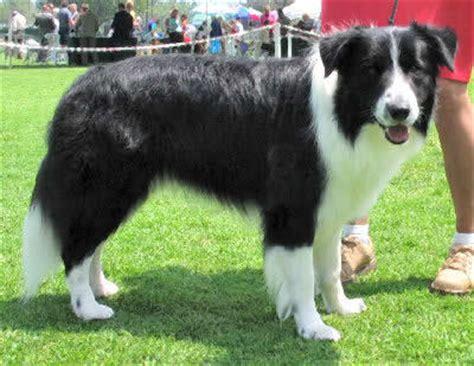 herding dogs dog care  information  herding dog breeds