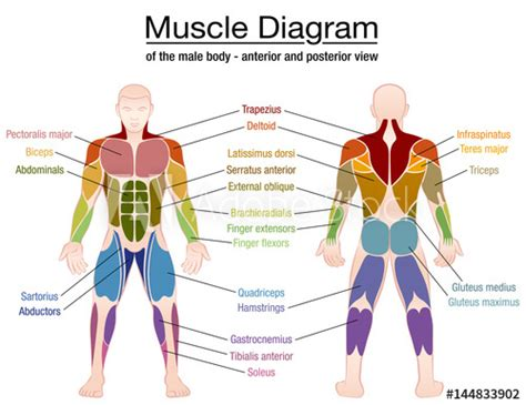 The ischium is labeled at the bottom left of the ilium. Muscle diagram - most important muscles of an athletic ...