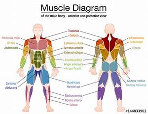 Muscle Diagram - Most Important Muscles Of An Athletic Male Body