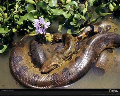 Anaconda Movie Rainforest Animals Snake Parthenogenesis Found