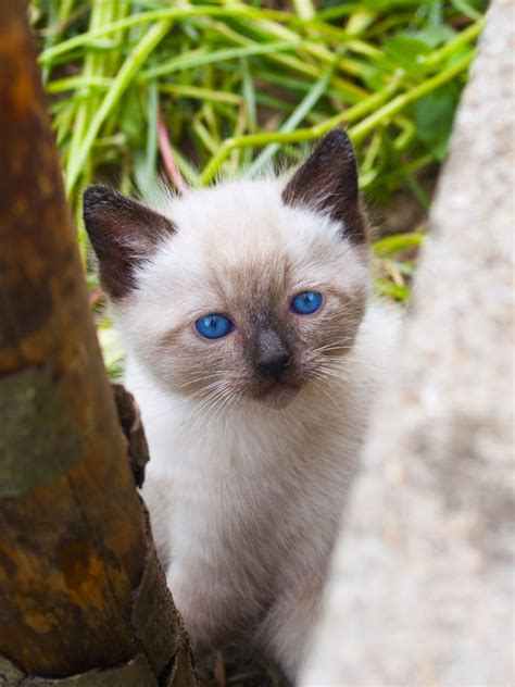 Siamese Cat Breed Information Behavior, Pictures And Care