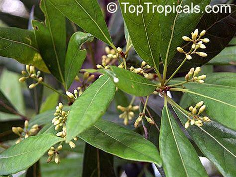 pimenta dioica pimenta officinalis allspice jamaica